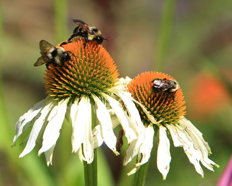Week ending July 13, 2008.  Honeybees working the gardens at Spring Mill State Park.