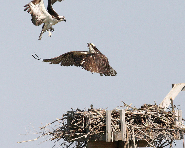 Week ending 6-15-2008.  Osprey Anxiety.  It appears that papa returned home, sans supper, which upset mama.  (He did NOT get permission to land!!)