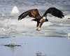 (Photo 3 of 3)  The juvenile eagle lifts off with his catch.  Small catches like this are many time eaten mid-air.  If they catch a larger fish, they will either sit on an ice floe to eat it, or sit in a tree to eat.