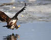 (Photo 1 of 3 photo sequence) Juvenile eagle spots a fish in the river and opens his talons in anticipation of the strike.  You can see the fish in the water ahead of the eagle!