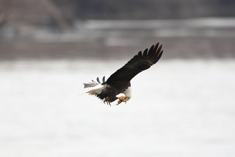 "Week ending Jan 10, 2009.  This eagle caught a fish in the waters near Lock & Dam 18 at Burlington, Iowa.  He does an in-flight tasting of his catch as he cruises back to his perch to finish his lunch.  <br /> <br /> See my gallery labeled ""Eagles of the Mississippi - 2009"" for many more photos.<br /> <br /> It is going to be a good year, photographically!"