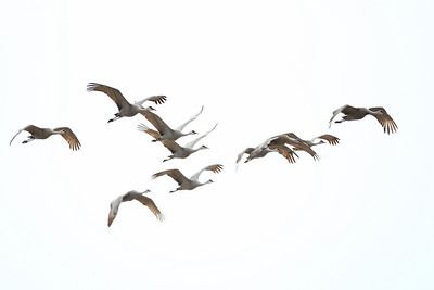 Sandhill Cranes of Goose Pond
