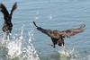 02/10/06 - Water fowl protecting territory.