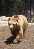 28/10/2010 - European Brown Bear.<br /> (Katrina's Photo)