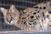19/05/07 - A serval.