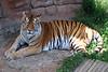 28/12/2010 - Bengal Tiger at National Zoo