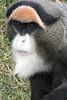 19/05/07 - A Debrazza's monkey.