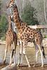 19/05/07 - Giraffes.