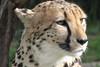 19/05/07 - Close up of the cheetah.