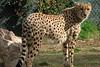 19/05/07 - A cheetah.