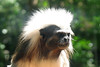 28/12/2010 - Cotton Top Tamarin at National Zoo