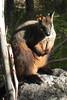 26/08/2016 - Brush Tailed Rock Wallaby at Tidbinbilla Nature Reserve, ACT.