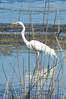 26/01/2014 - Great Egret At Lake Munmorah