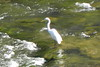 15/08/2017 - Heron in The Richmond River, Casino, NSW