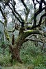 1997 Jul - Mossy Tree at Point Lookout, Waterfall Way, Dorrigo