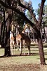 1997 Jul - Giraffes at Western Plains Zoo, Dubbo
