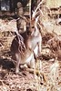 1997 Jul - Kangaroo at Western Plains Zoo, Dubbo
