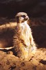 1997 Jul - Meerkat at Western Plains Zoo, Dubbo