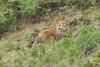 04/03/2017 - Feral fox at Tarago.