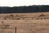 10/03/2017 - Feral Deer near Bungendoore
