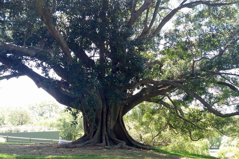 24/11/2017 - Large Fig Tree in Sydney Botanical Gardens