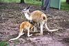 1998 Apr - Roos at Hervey Bay Nature World
