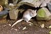 1998 Apr - Small Rat Kangaroo at Hervey Bay Nature World