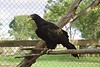 1998 Apr - Wedgetail Eagle at Hervey Bay Nature World