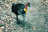 1995 Jan - Scrub Turkey at Cania Gorge