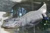 02/09/2016 - American alligator at Australia Zoo, QLD