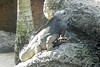02/09/2016 - Rhino Iguana at Australia Zoo, QLD