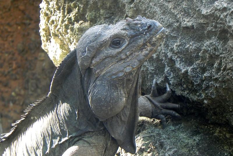 02/09/2016 - Rhino Iguana at Australia Zoo, QLD