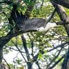 White-bellied sea eagle take off 00939-Editv2