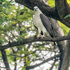 White-bellied sea eagle 00937-Edit-2