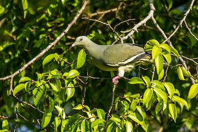 PINK-NECKED GREEN PIGEON (Female)...Angry