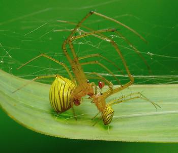 Big-Jawed Spiders (Tetragnathidae)