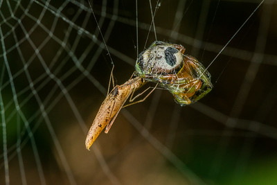 Comb-footed spiders