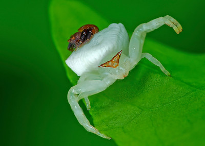 Crab Spider and male (stack 2)