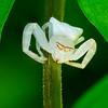White Crab Spider 01547+46+45+44+43+42