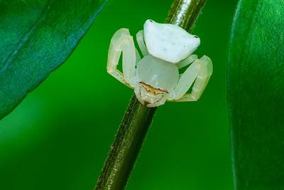 White Crab Spider top 01556+55