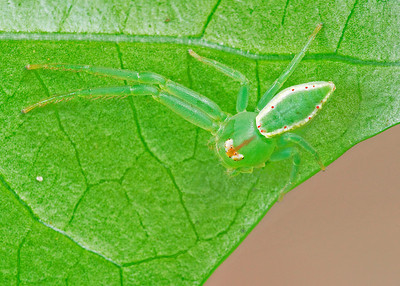 Loxobates Crab Spider