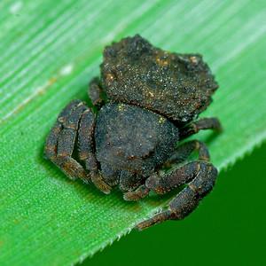 tuberculatus boliscus crab spider