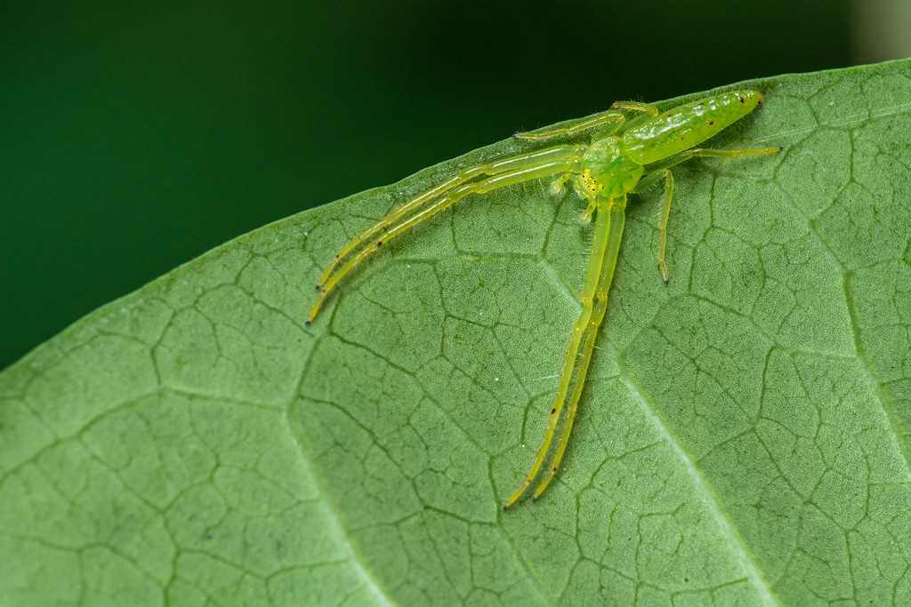 Green Crab spider 02906+07-Edit