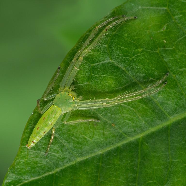 Green Crab Spider top 02161-Edit