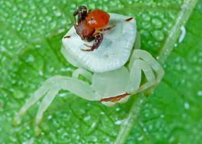 Crab spider female and male