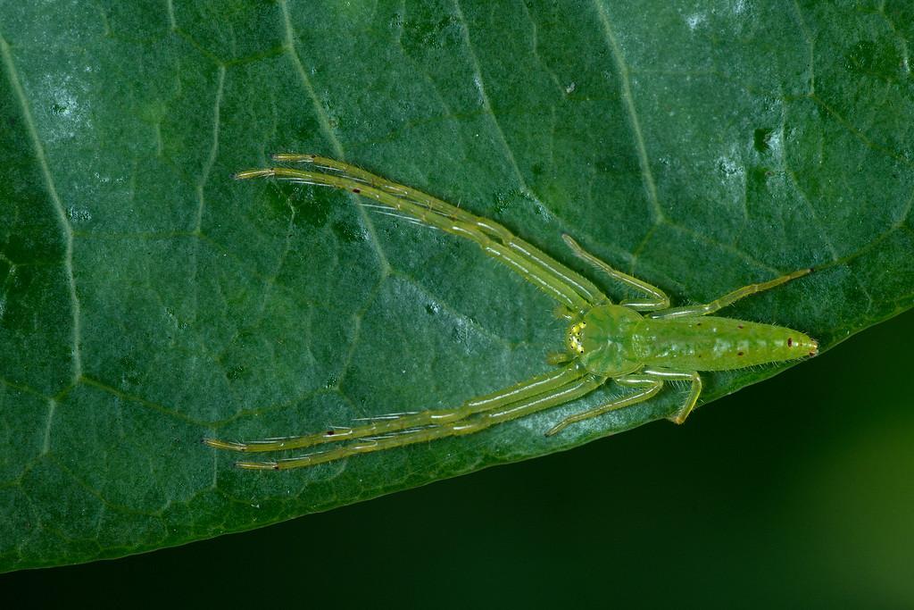 Green Crab Spider DSC02677+76