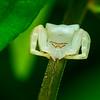 Thomisidae crab Spider 01459