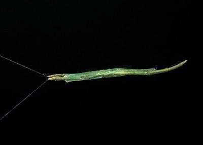Twig-like feather legged spider