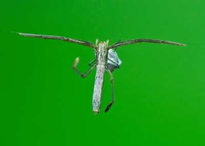 Twig-liiked feather-legged spider