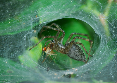 Funnel-Web Spider side with Prey, Stack 6